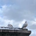 gulls bürkliplatz zurich